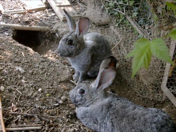 Il coniglio ben adattato in garenna sa arrangiarsi benissimo a scavare