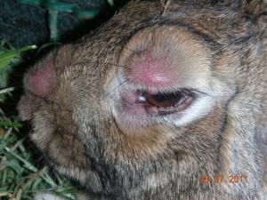 Maschio colpito e curato è guarito e sta riproducendo felicemente