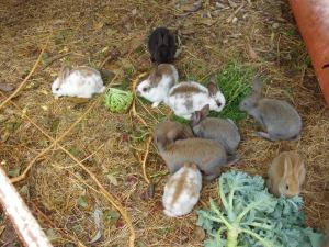 La Mixomatosi del coniglio può essere superata anche senza vaccinazioni