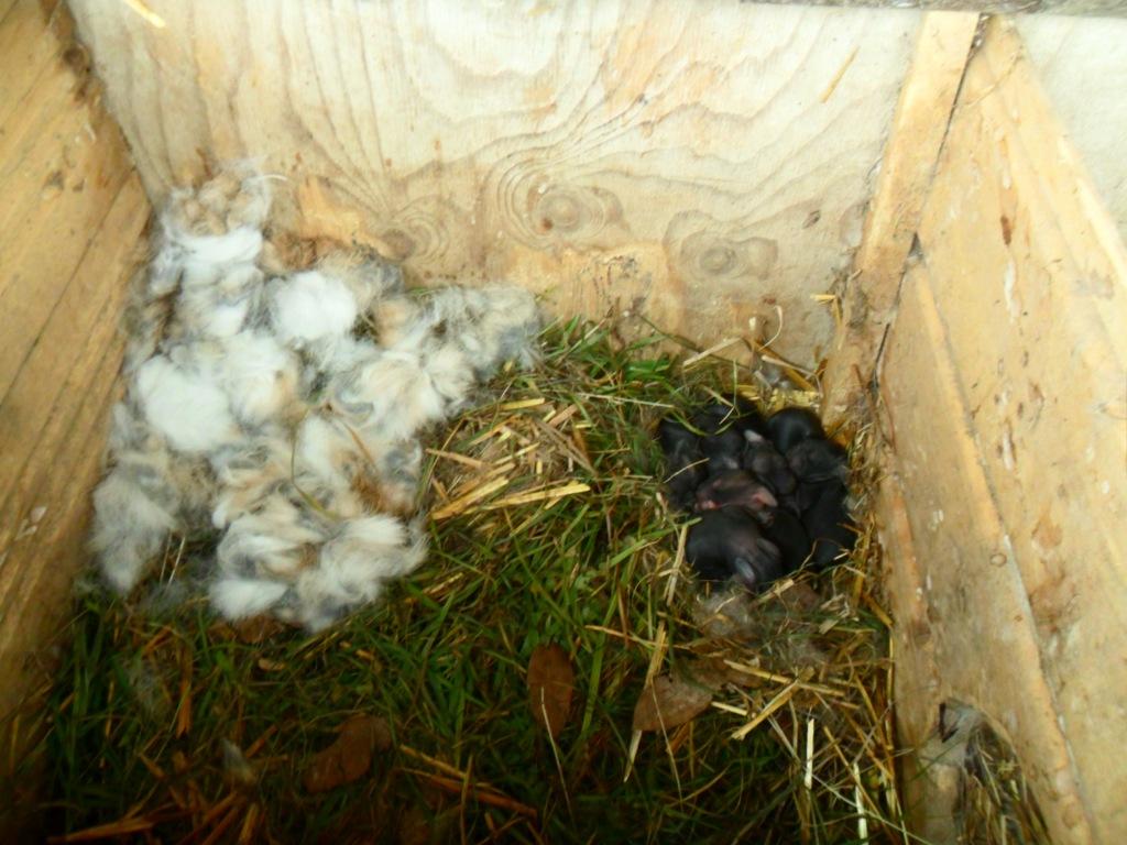 Coniglietti appena nati 2 dicembre 2012 (3)